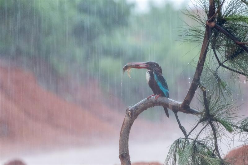 极端天气出大片--暴雨中拍鸟